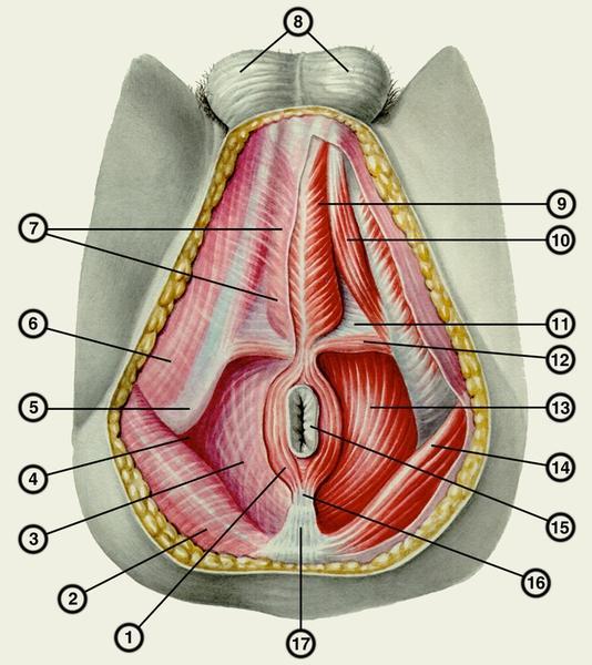 Мышцы и фасции промежности у мужчин