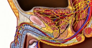 Сосудистая система половых органов
