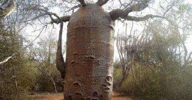 Толстый ствол дерева