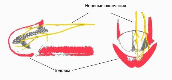Нервные окончания головки полового члена