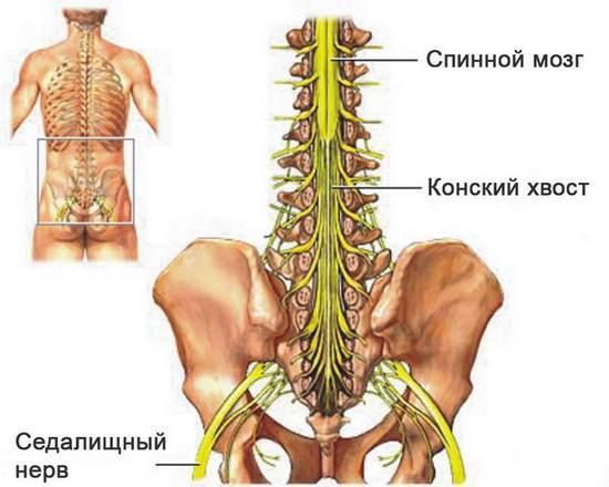 Конский хвост спинного мозга