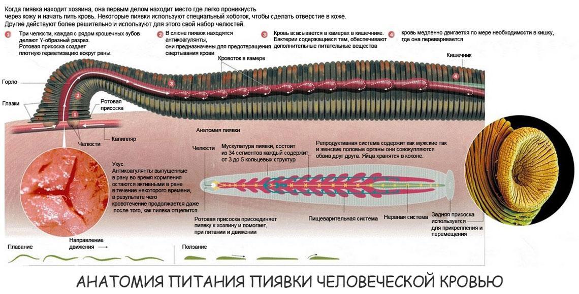 Анатомия питания пиявки человеческой кровью