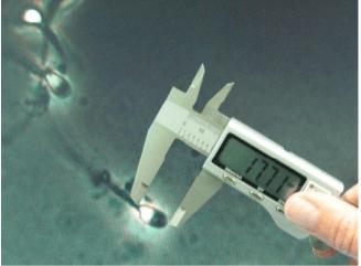 Измерение размеров сперматозоидов