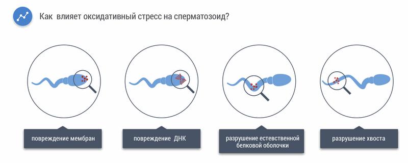 Влияние оксидативного стресса на сперматозоид