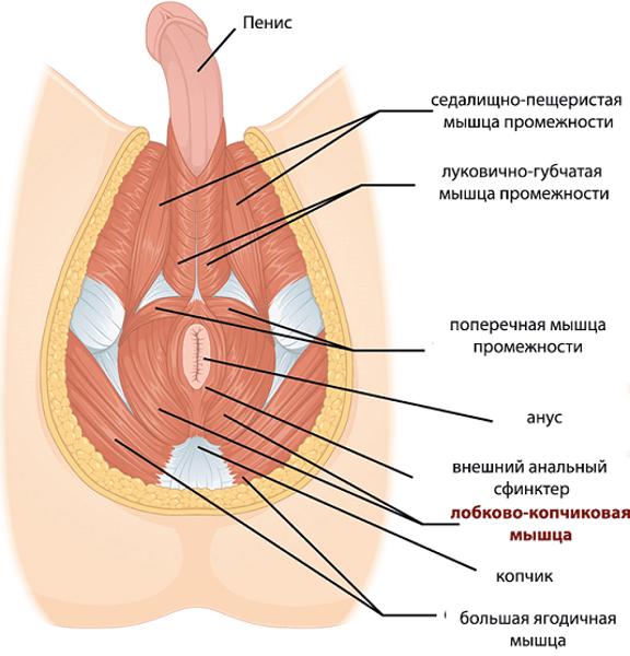 Мышцы малого таза