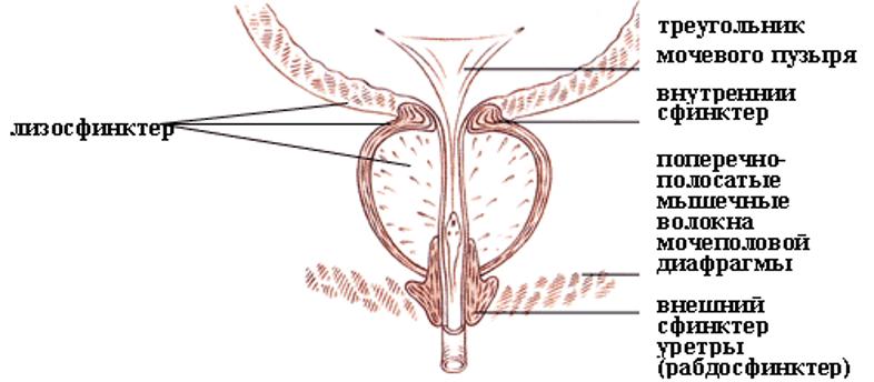 Схема расположения уретральных сфинктеров