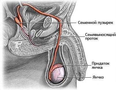 Схема мочеполовых органов