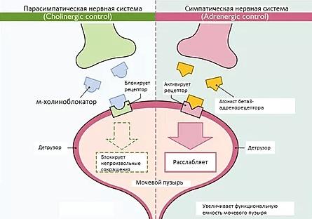 Механизм действия М-холиноблокаторов и агонистов бета-3-рецепторов