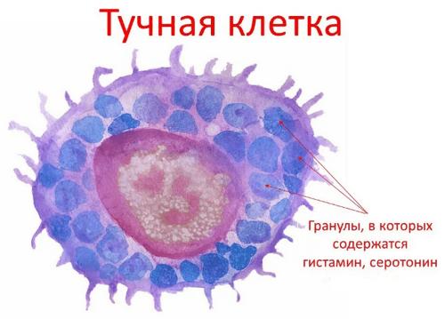 Тучная клетка