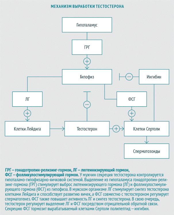 Механизм, обеспечивающий нормальное функционирование половых желез