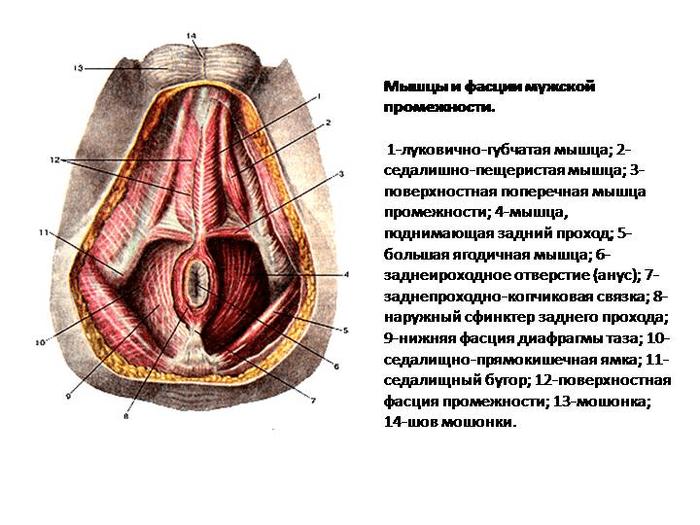 Мышцы промежности