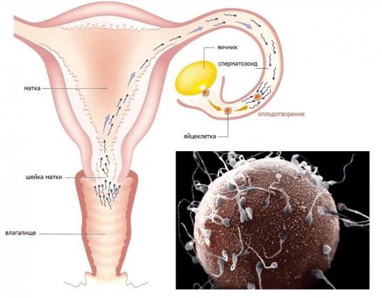 Путь сперматозоида в женском организме