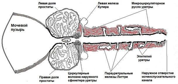 Железы Литтре