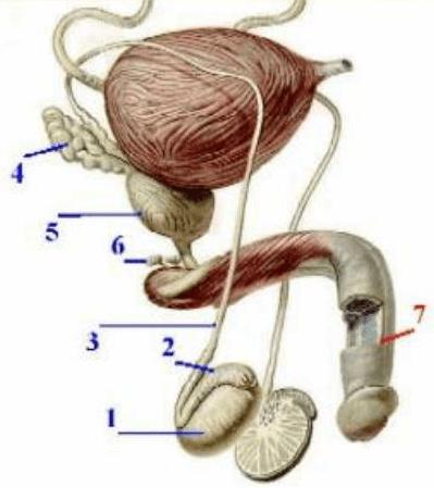 Расположение куперовых желез