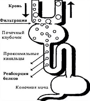 Фильтрация белка в почках