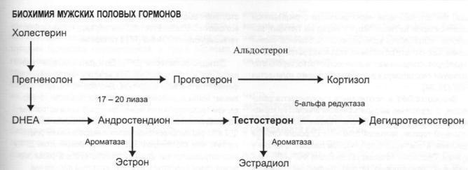 Механизм синтеза тестостерона у мужчин