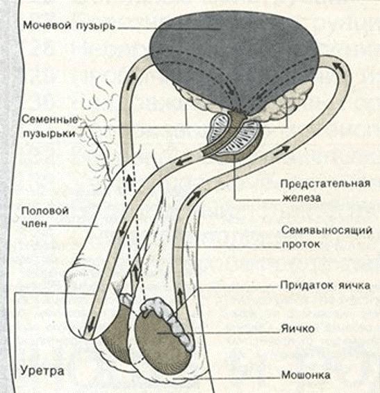 Путь сперматозоидов из яичек к члену