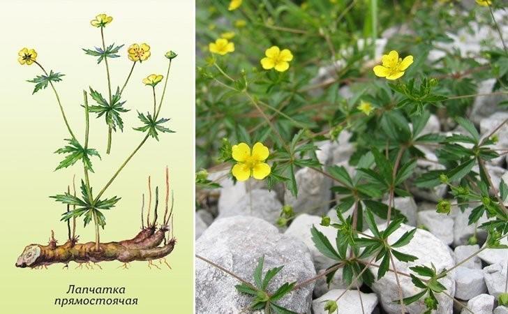 Лапчатка (калган): четыре лепестка на цветке – главное отличие от других лапчаток