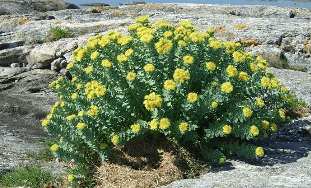 Мужской куст − с желтыми цветками
