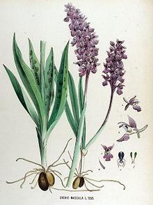 Ятрышник мужской (дикая, или лесная орхидея)