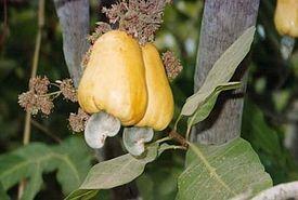 Кешью: желтая груша – это плодоножка, сам орех внизу