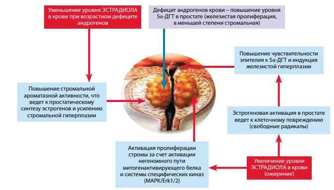 Механизмы влияния эстрадиола на развитие гиперплазии простаты