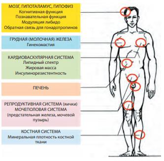 Органы-мишени эстрадиола в мужском организме