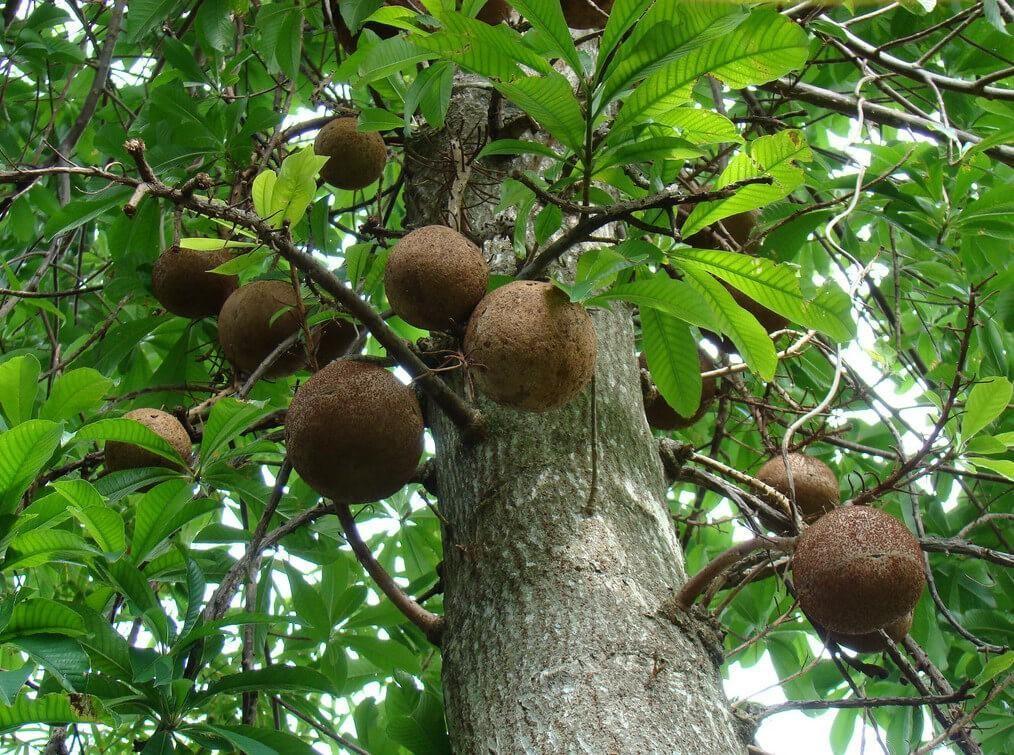 Плоды бертолетии