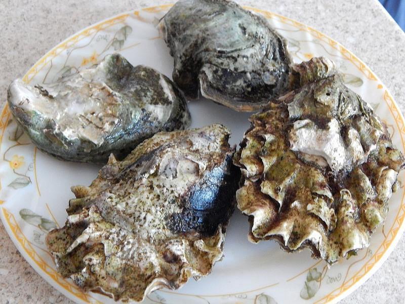 Наиболее распространенные виды: сахалинские (ребристые) и тихоокеанские верде (как крупные мидии)