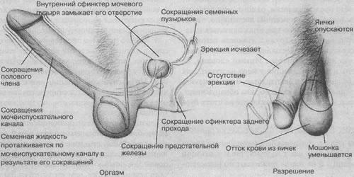 Механизм оргазма