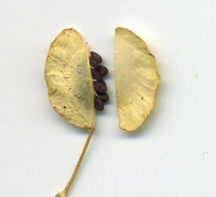 Семена ярутки