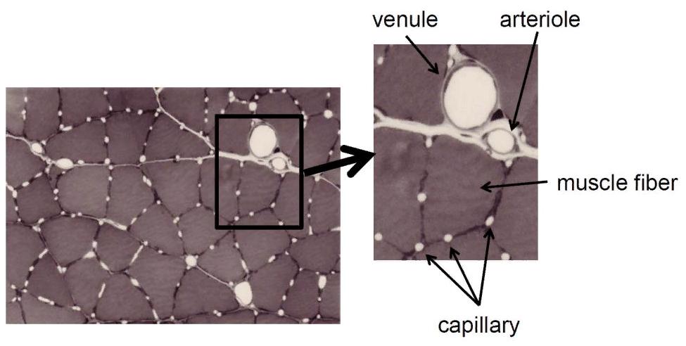 Фото микроскопом: волокна на срезе мышцы, окруженные капиллярами