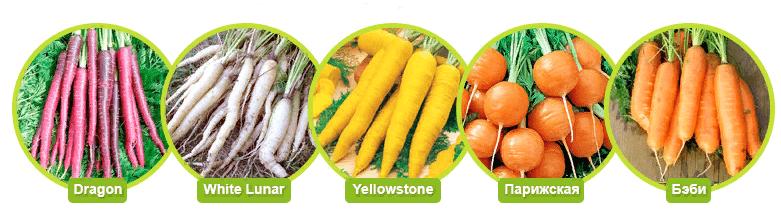 Разные виды моркови